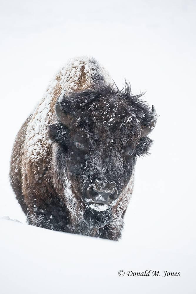 American-Bison02399D