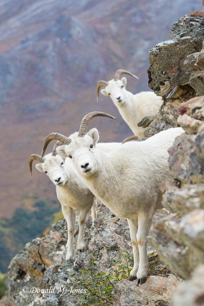 Dall-Sheep02062D