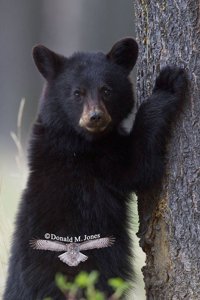 Black-Bear04894D