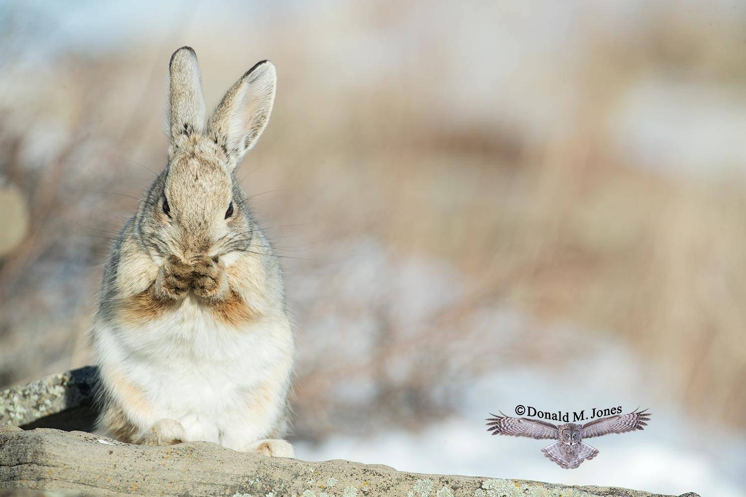Mountain-Cottontail0363D