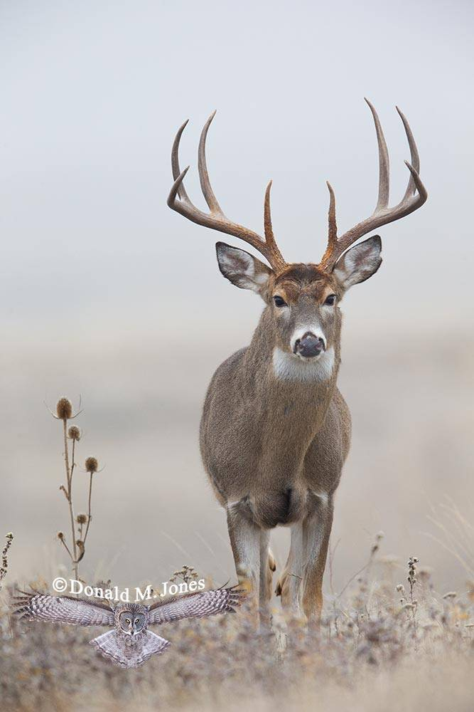 Whitetail-Deer47731D