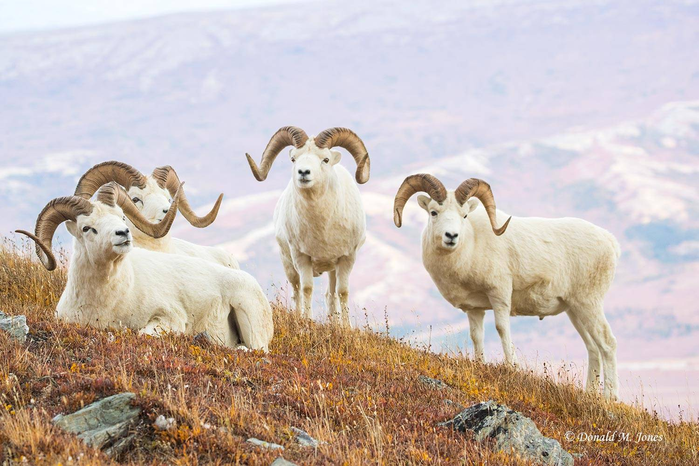 Dall-Sheep02208D