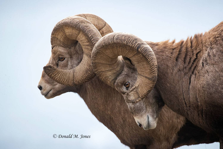 Bighorn-Sheep06303D