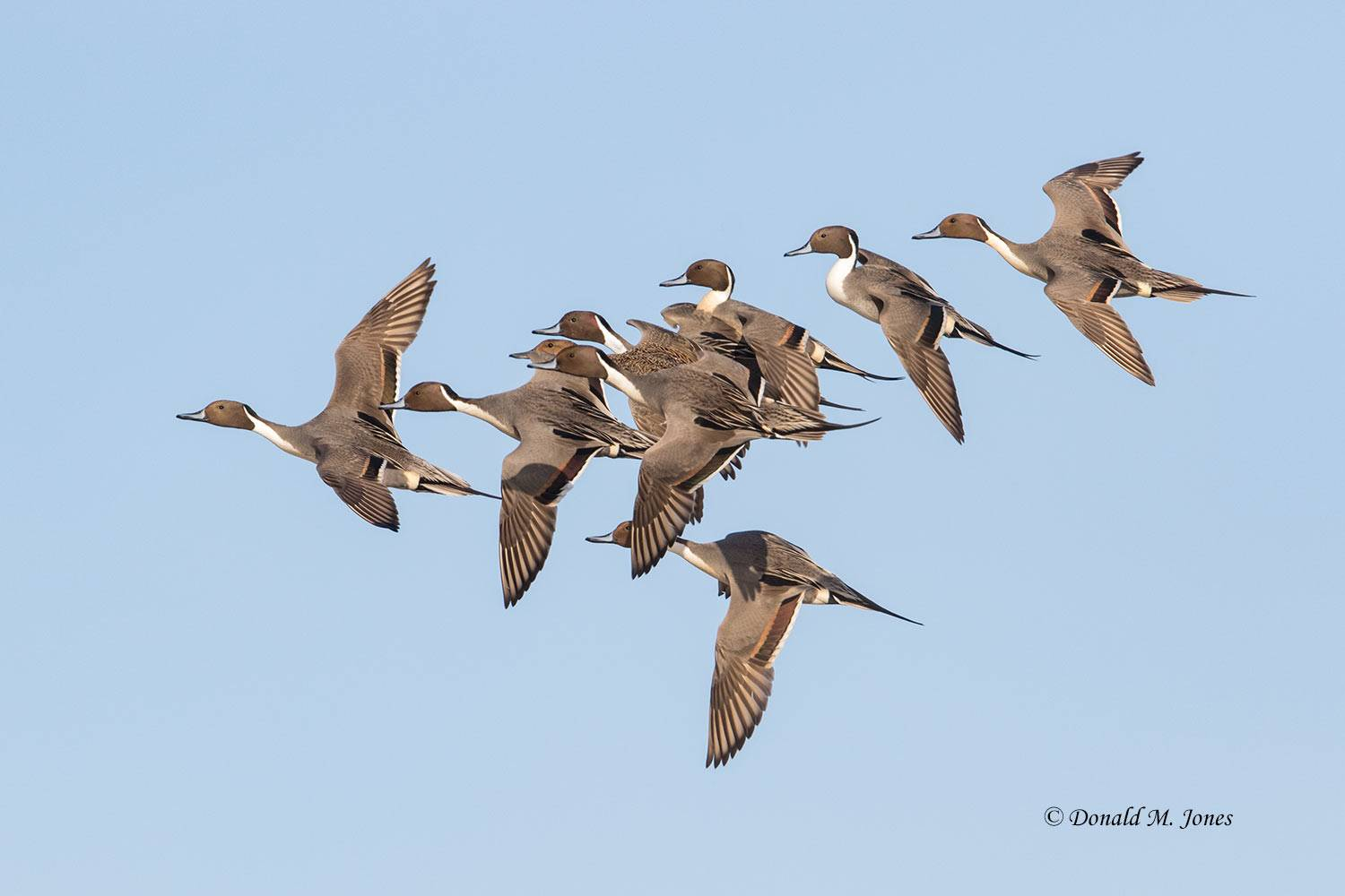 Northern-Pintail2118D