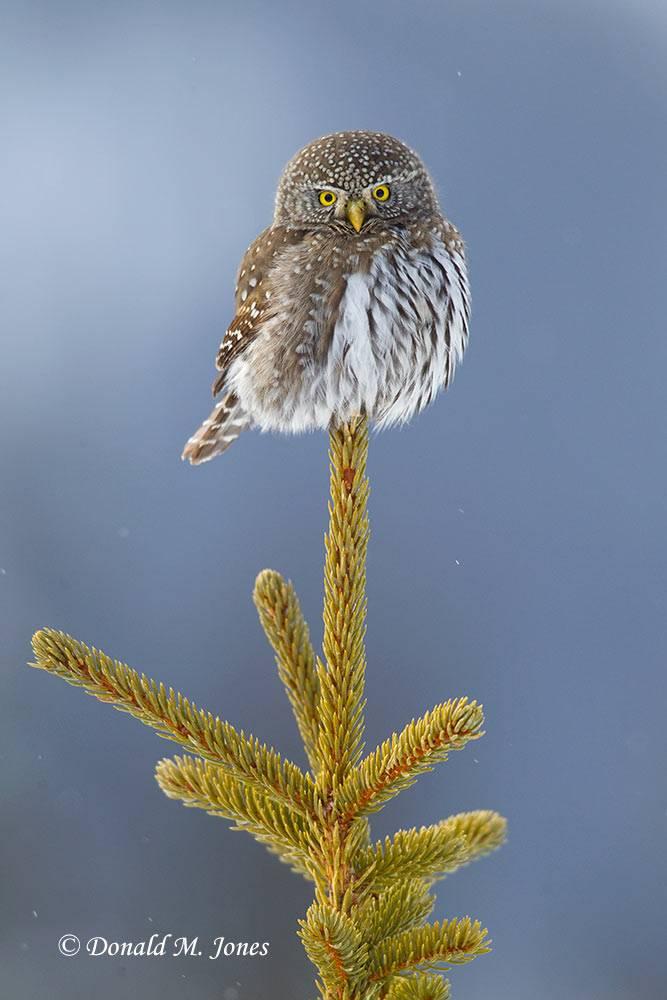 Northern-Pygmy-Owl0596D