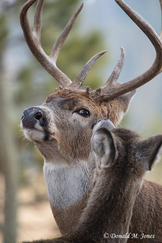 Whitetail-Deer58603D