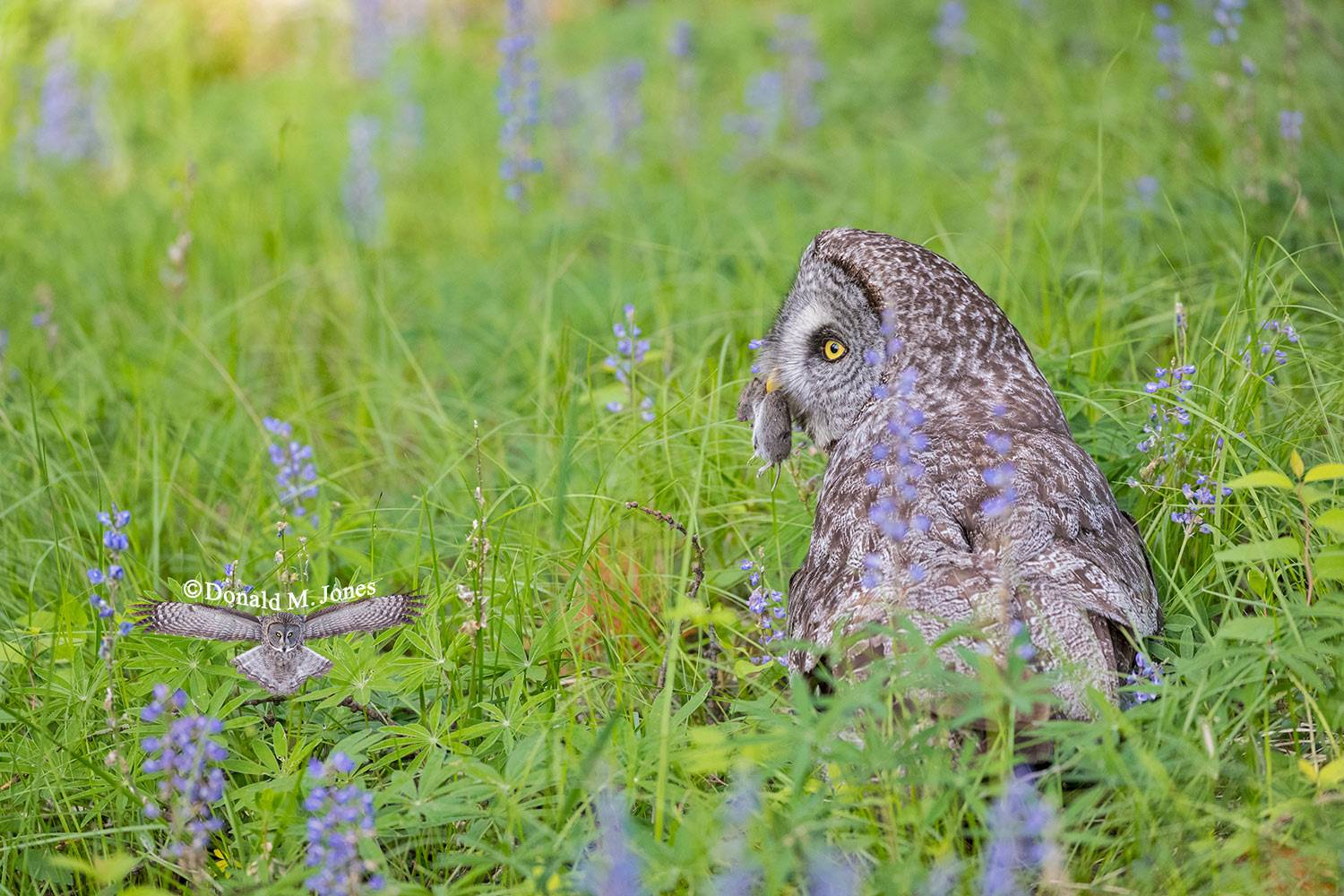 Great-Gray-Owl1168D