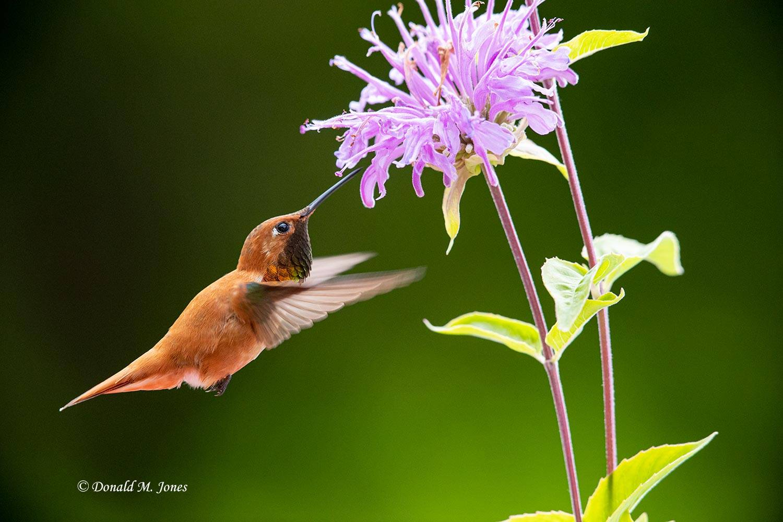 Rufus-Hummingbird0765D