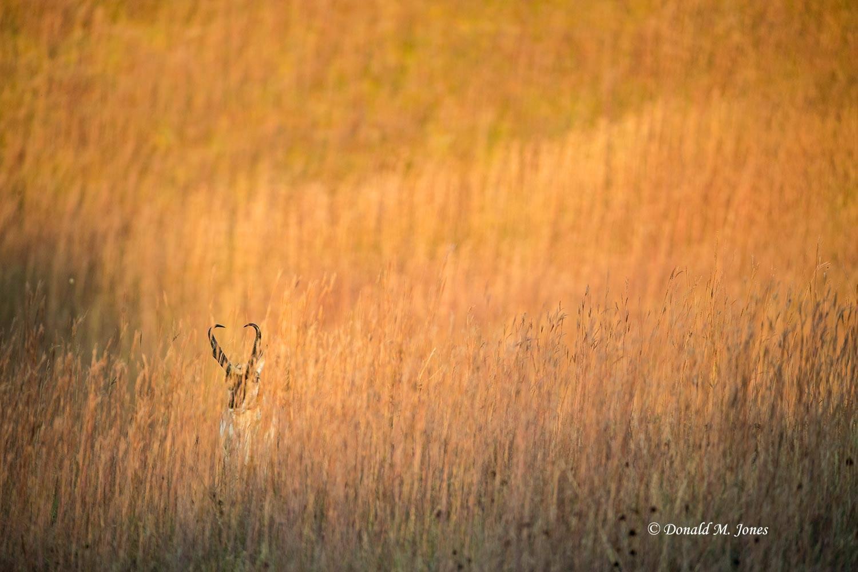 Pronghorn-Antelope05546D