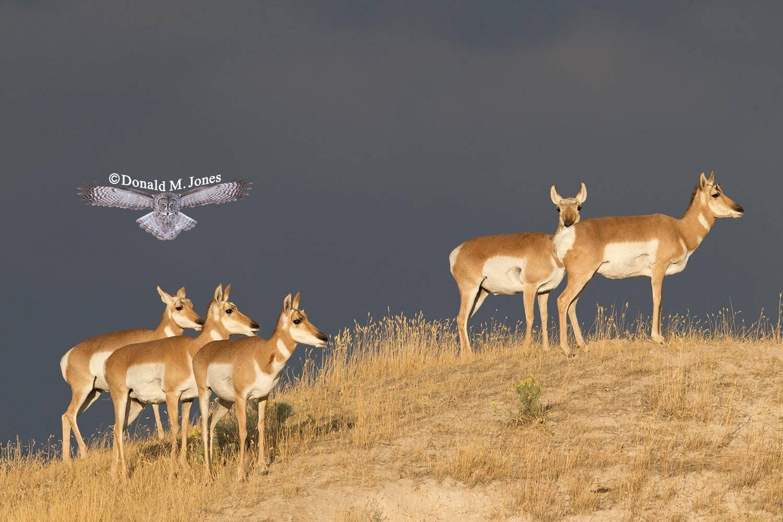 Pronghorn-Antelope04490D