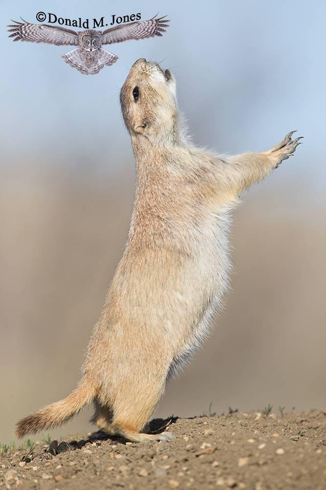 Black-tailed-Prairie-Dog0535D