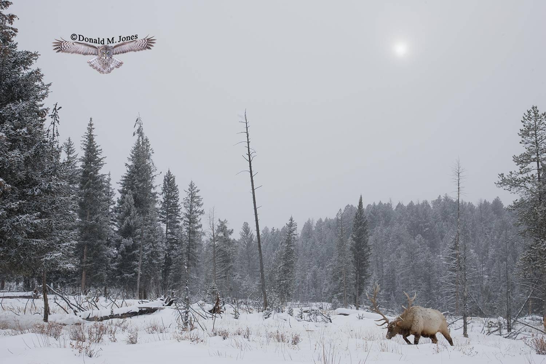 Elk-(Rocky-Mtn)14824D
