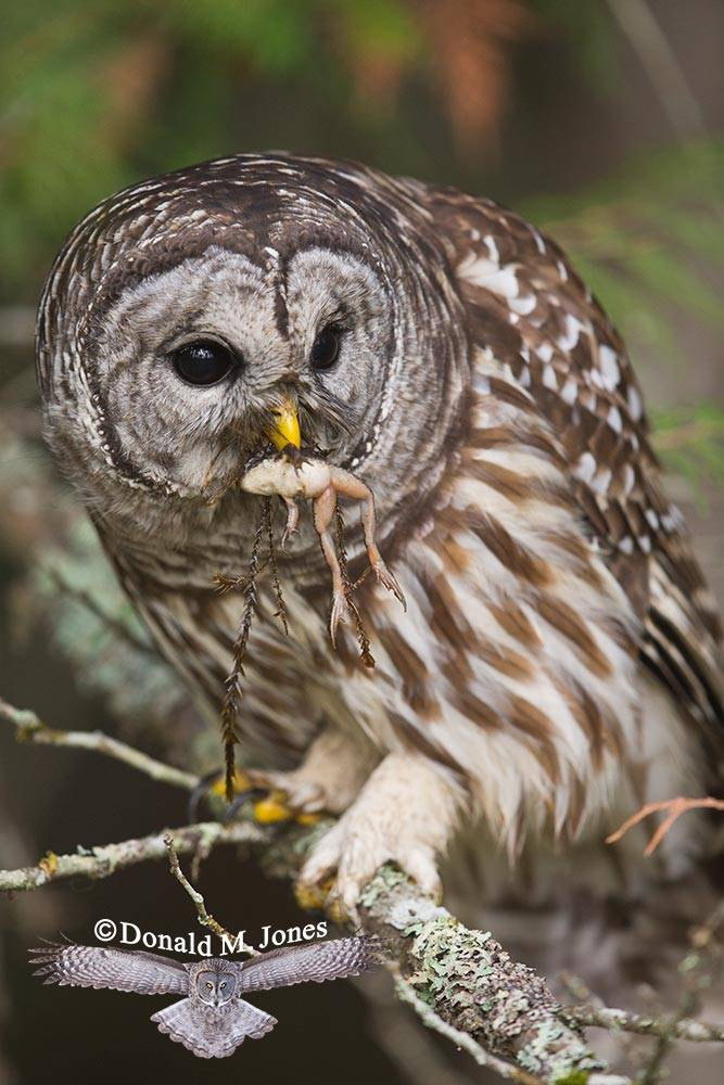 Barred-Owl0117D