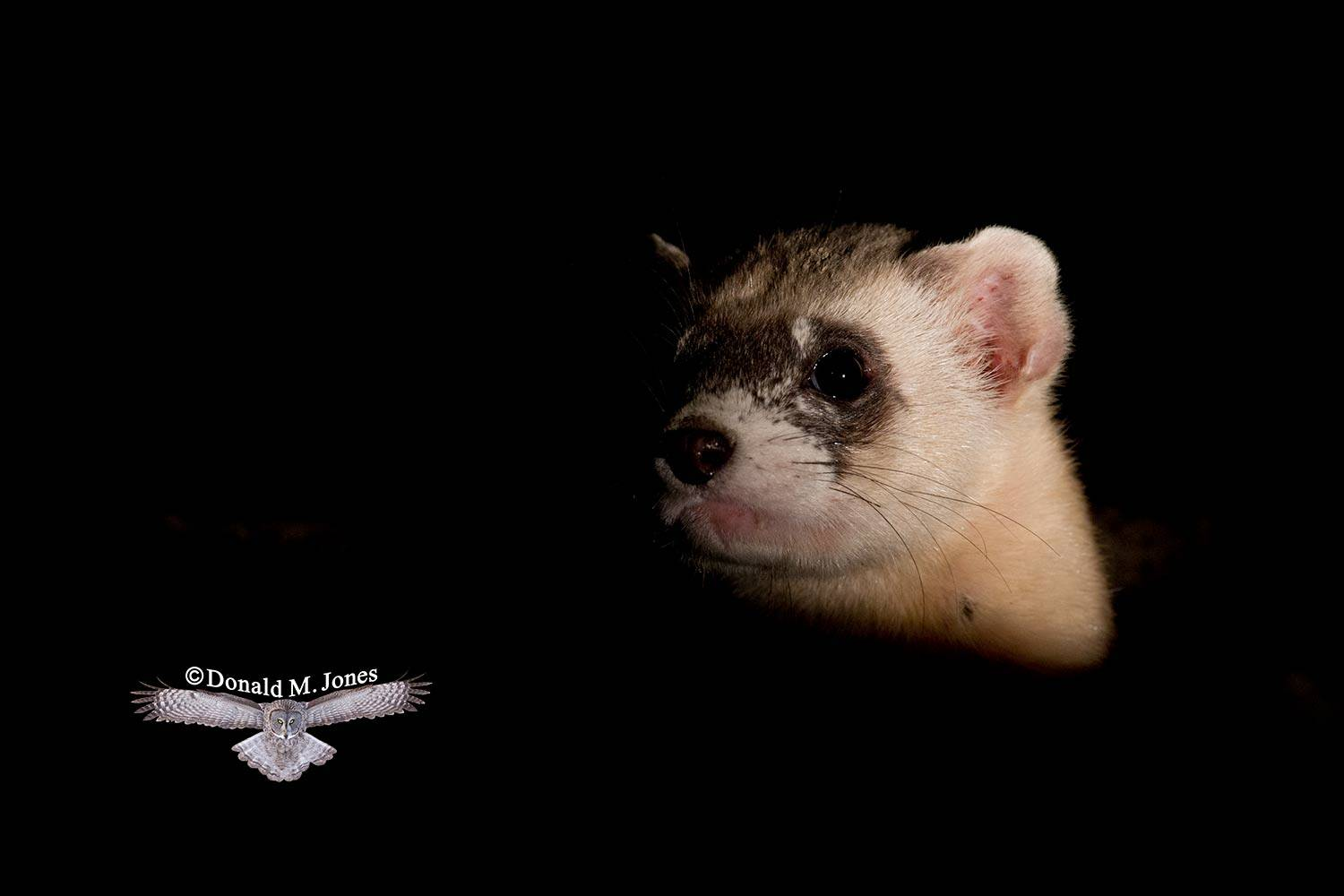 Black-footed-Ferret0165D