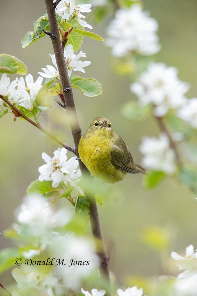 May 18, Orange Crowned Warbler