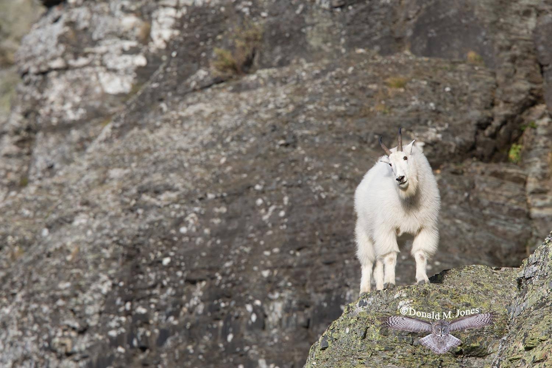 Mountain-Goat01943D