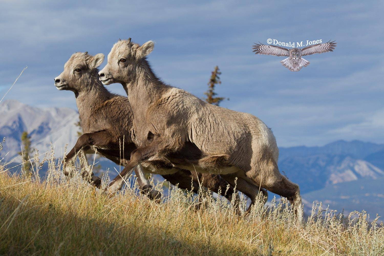 Bighorn-Sheep05128D