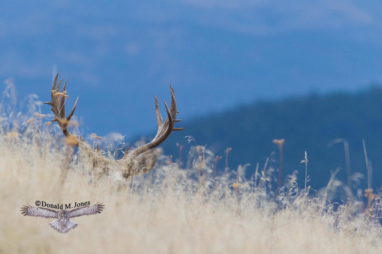 Mule-Deer08480D