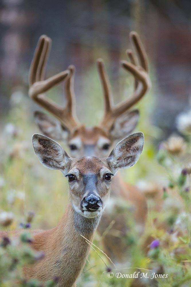 Whitetail-Deer52606D