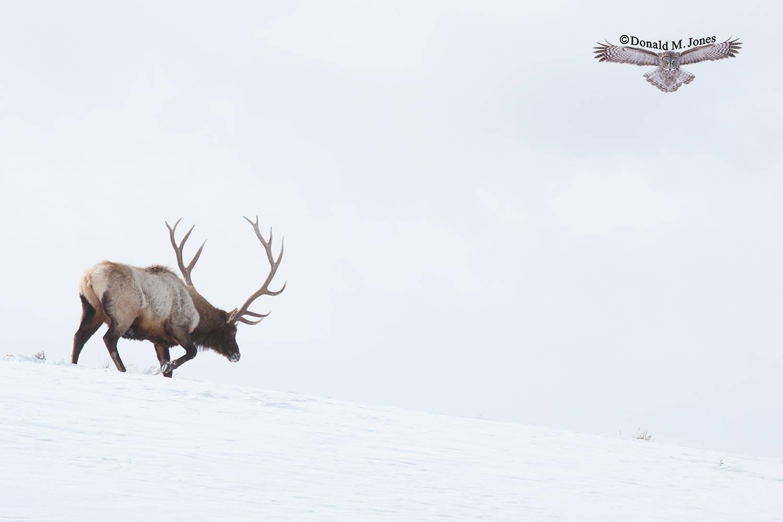 Elk-(Rocky-Mtn)16306D