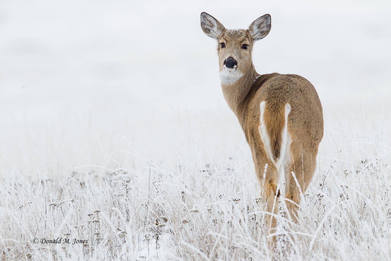 Whitetail-Deer55174D