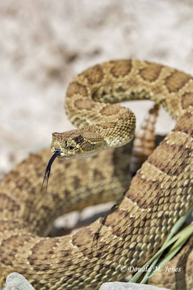 Western-Rattlesnake0251D