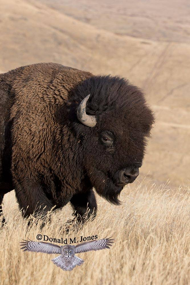 American-Bison01856D