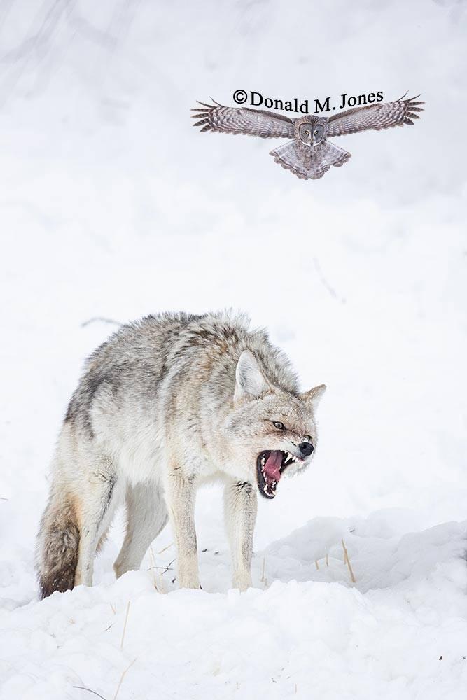 Coyote2751D