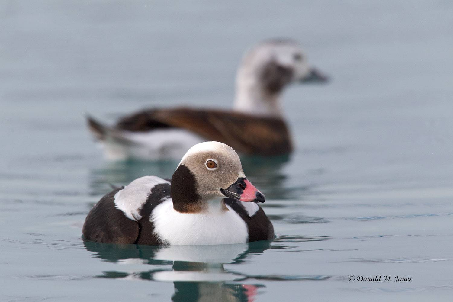 Long-tailed-Duck0122D
