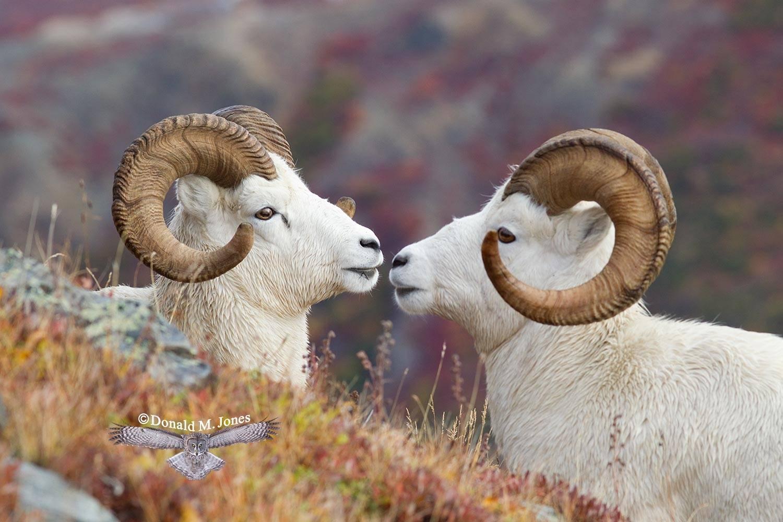 Dall-Sheep01391D