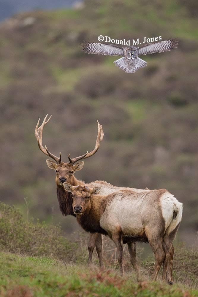 Elk-(Tule)00140D