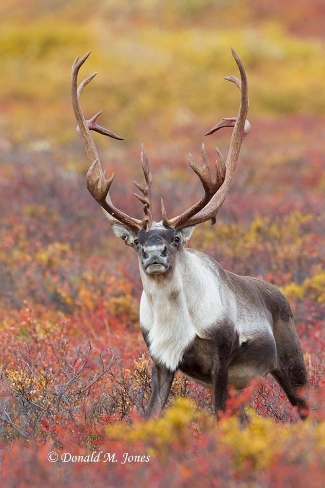 Barren-Ground-Caribou02420D