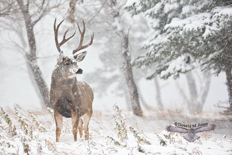 Mule-Deer09572D