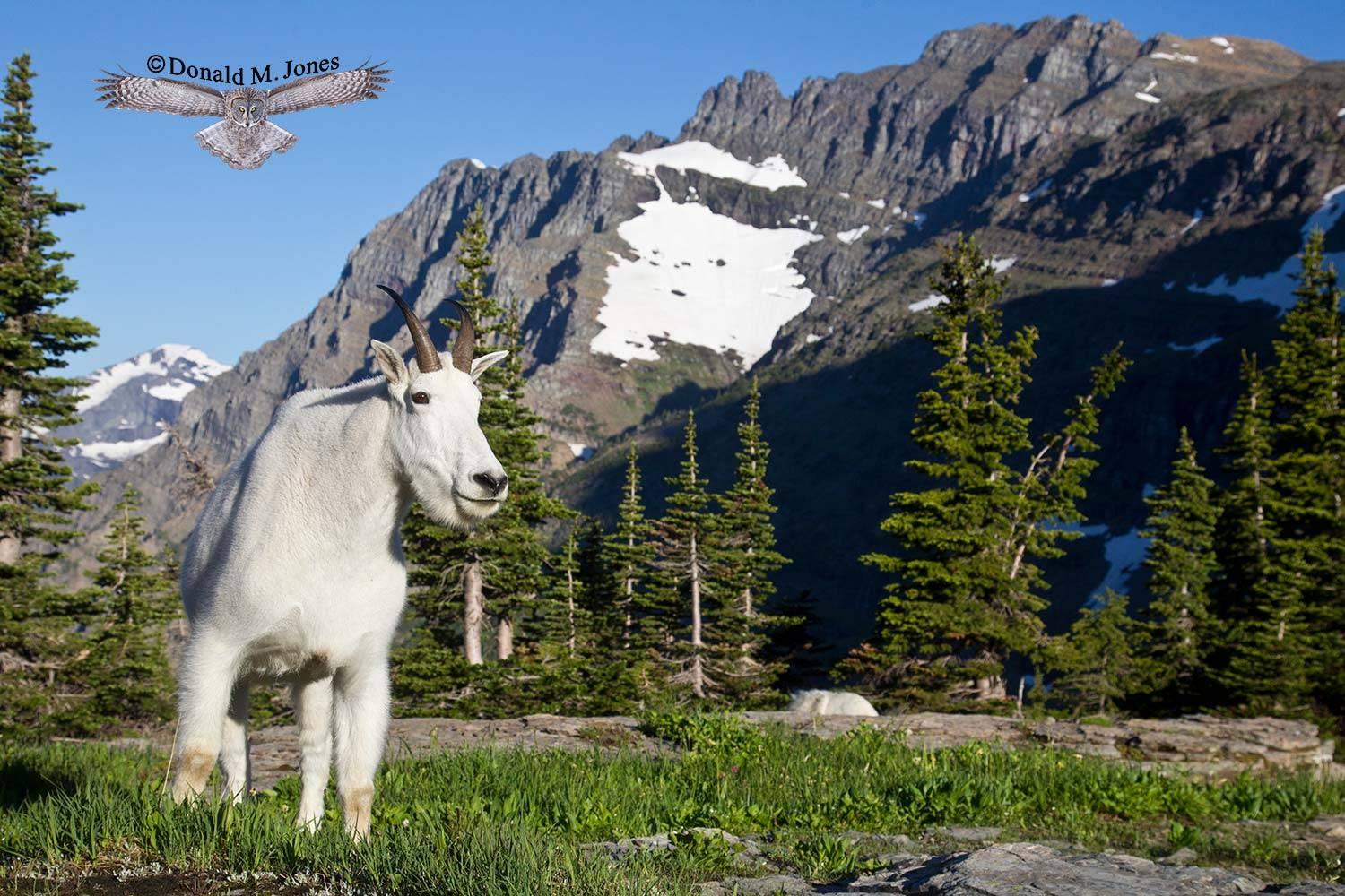 Mountain-Goat02346D