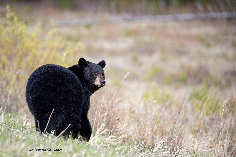 Black-Bear08216D