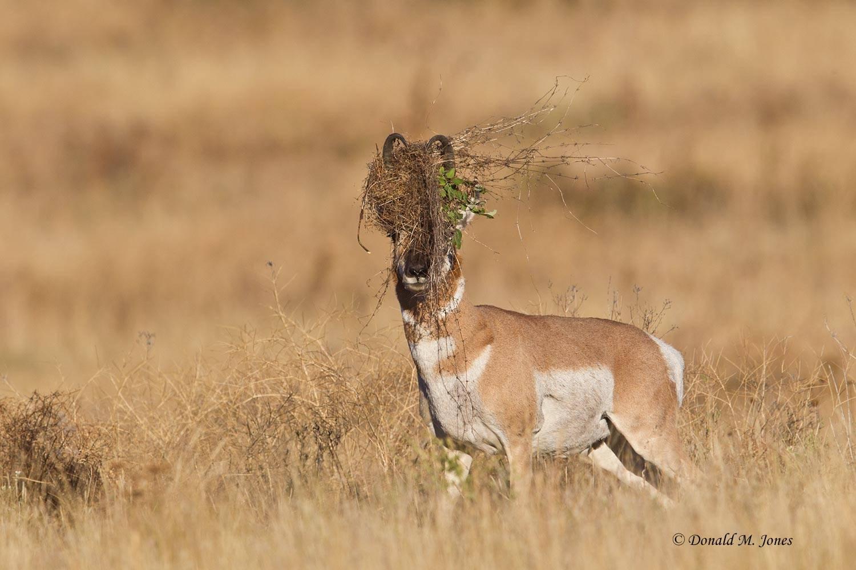 Pronghorn-Antelope04353D