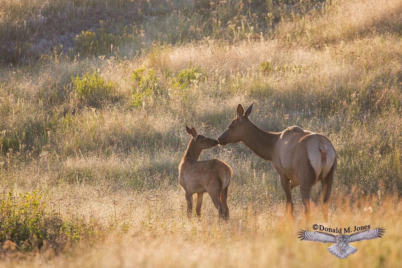 Elk-(Rocky-Mtn)25554D