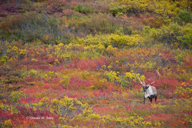 Barren-Ground-Caribou02889D