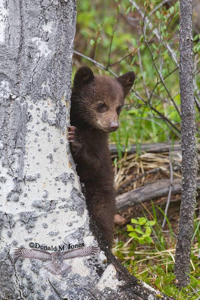 Black-Bear05432D