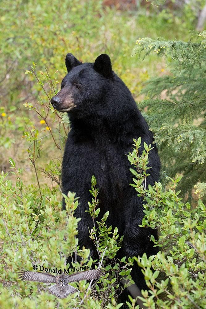 Black-Bear07504D