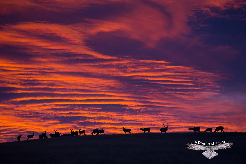 Elk-(Rocky-Mtn)23903D