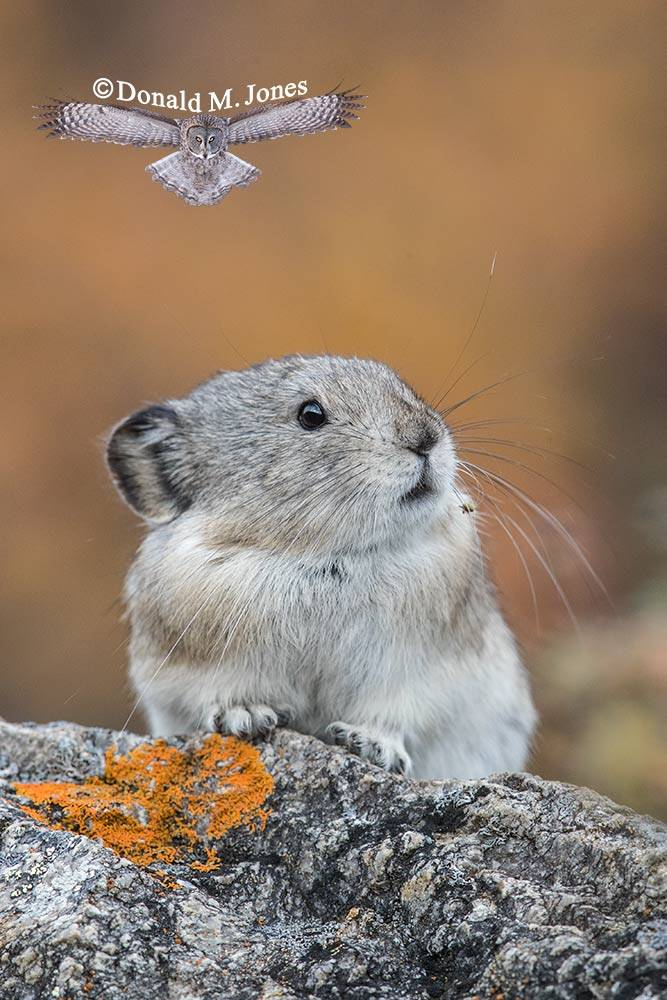 Collared-Pika0217D