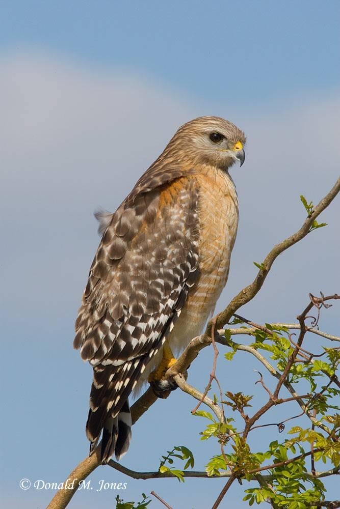 Red-shouldered-Hawk0108D