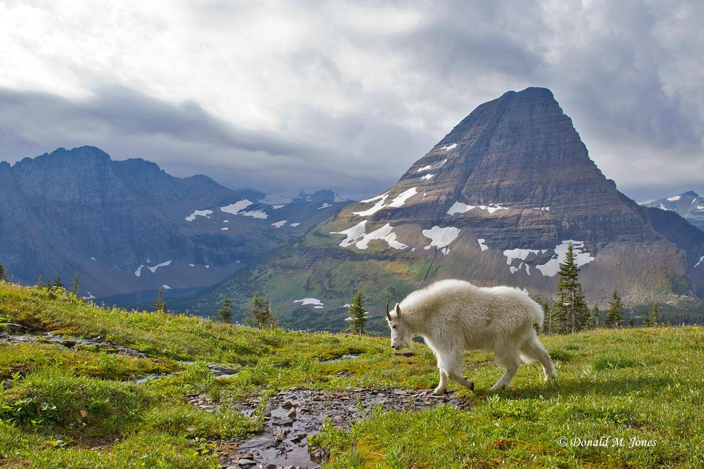 Mountain-Goat02159D