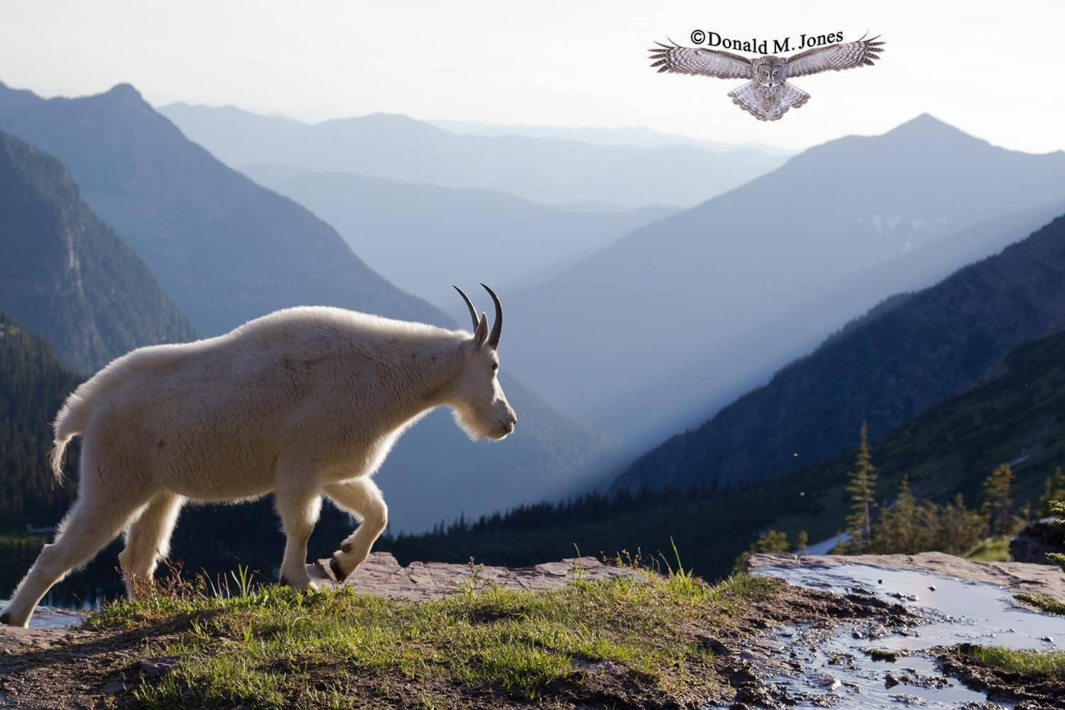 Mountain-Goat02195D