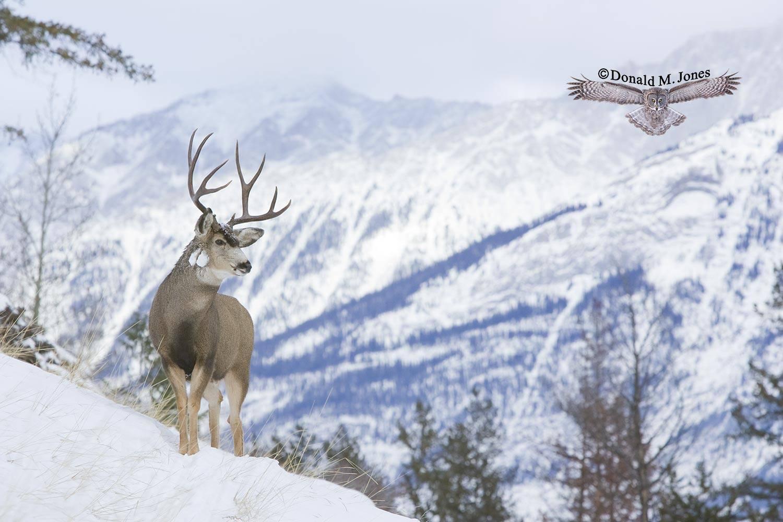 Mule-Deer07166D