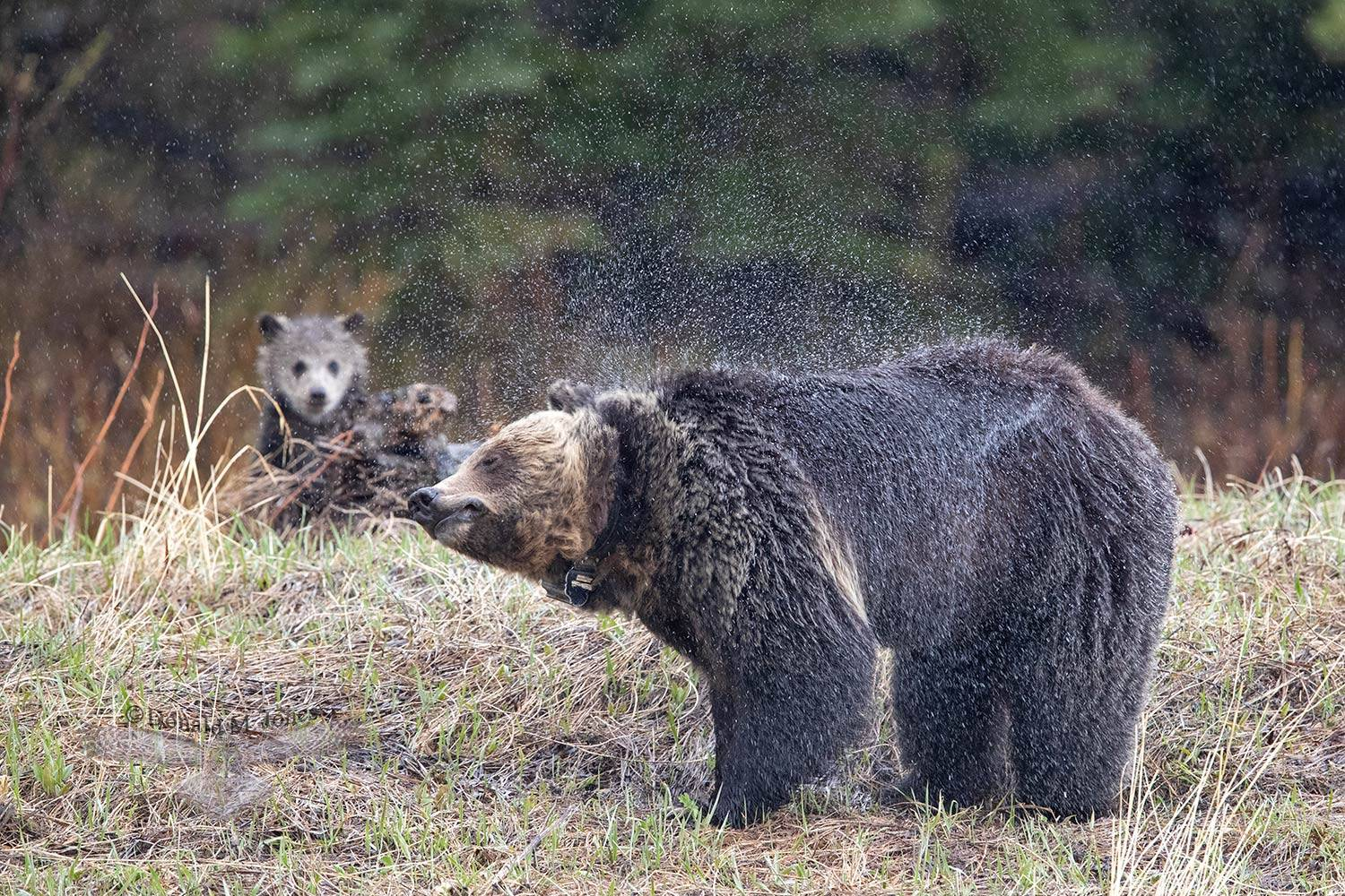 May 23  Female Grizzly shaking during a rainstorm - she is wearing a radio collar