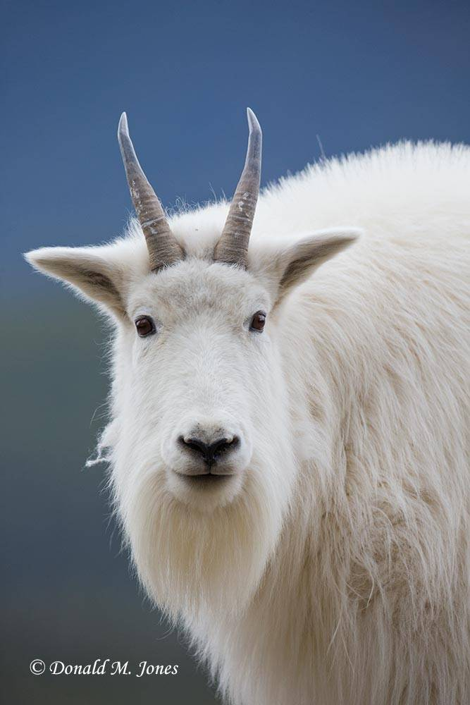 Mountain-Goat02538D