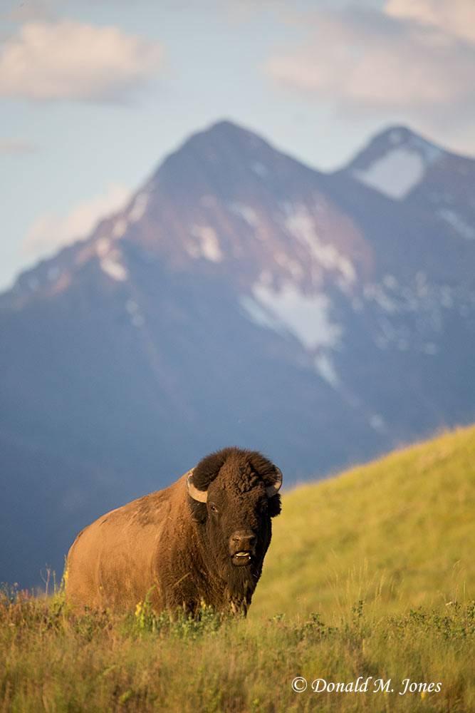 American-Bison01898D