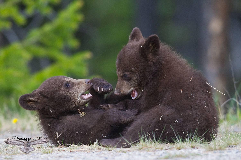 Black-Bear05754D